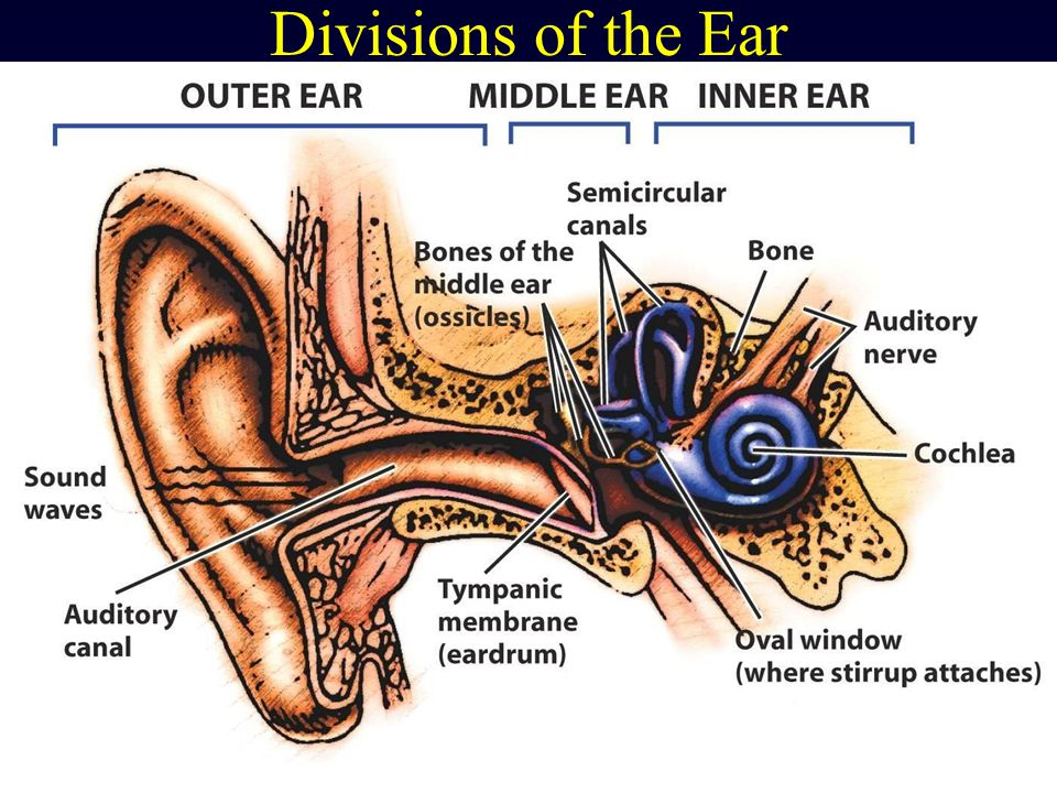 Divisions of the Ear