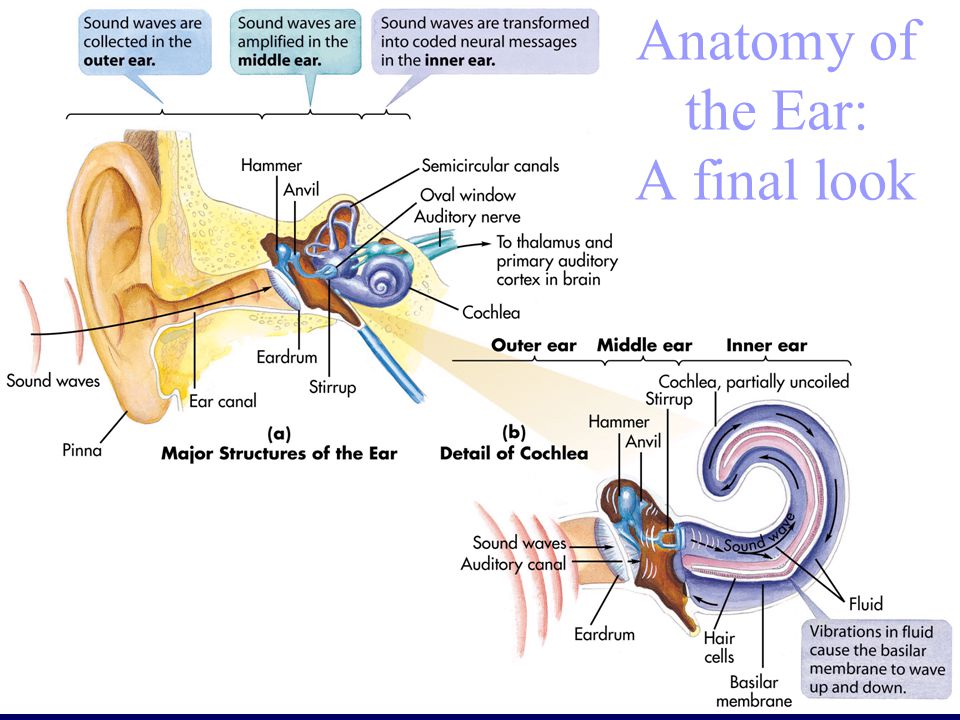 Anatomy of the Ear: A final look