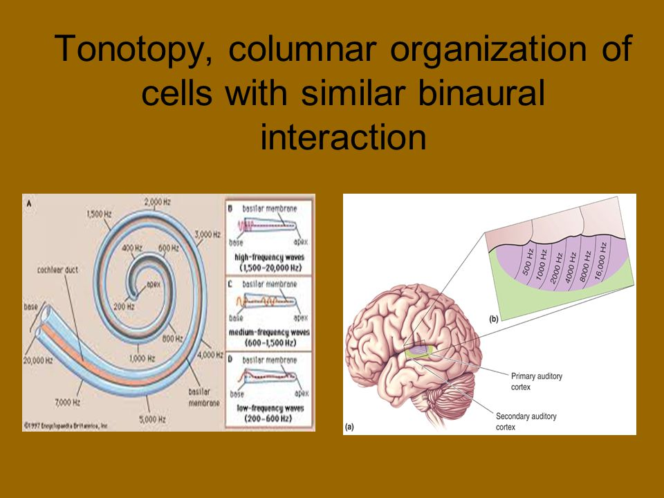 Tonotopy, columnar organization of cells with similar binaural interaction