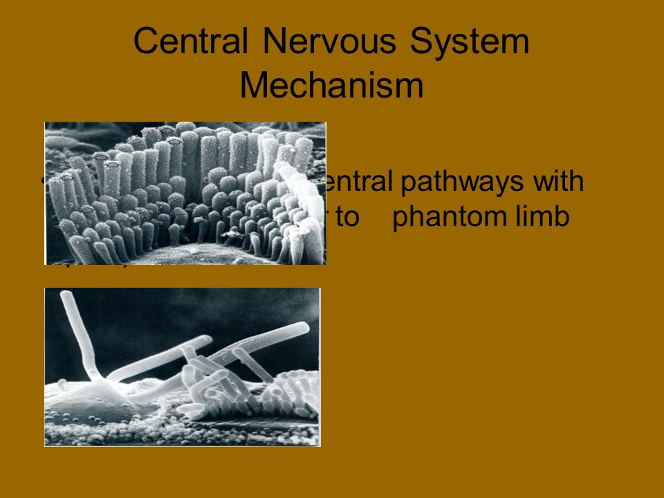 Central Nervous System Mechanism