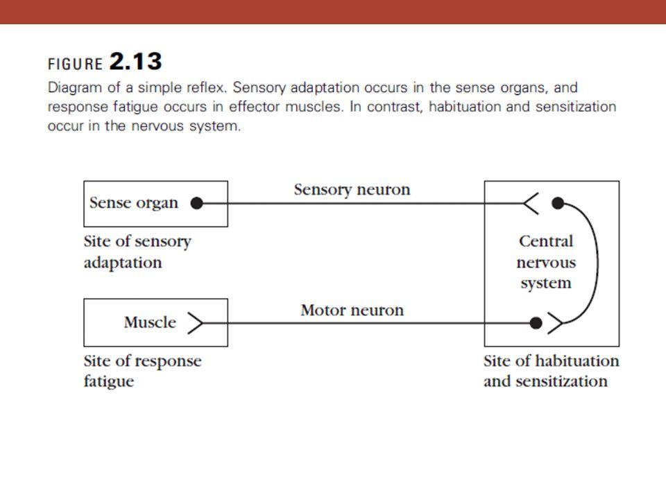 Figure 2. 13 – Diagram of a simple reflex