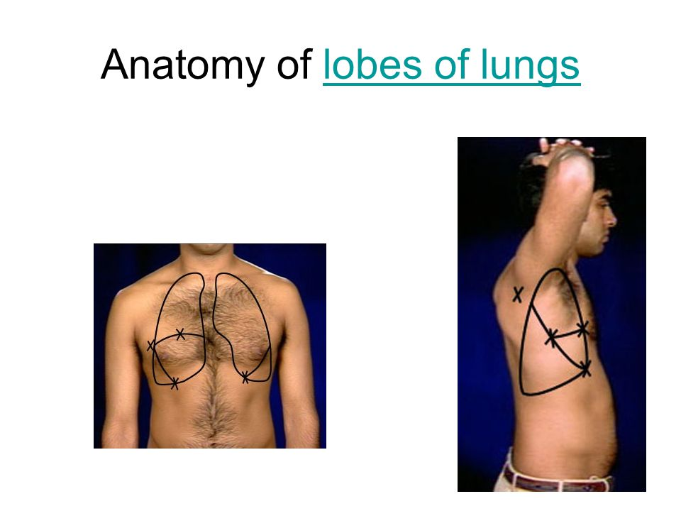 Anatomy of lobes of lungs