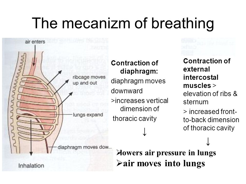 The mecanizm of breathing