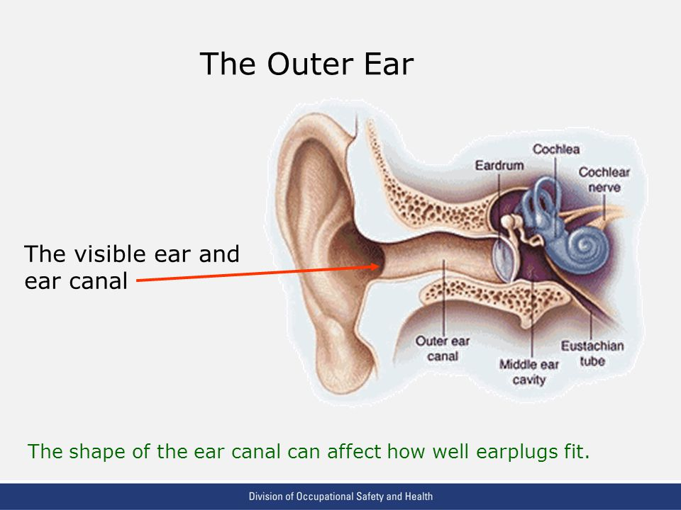 The Outer Ear The visible ear and ear canal