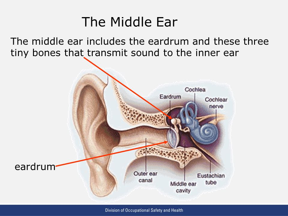 The Middle Ear The middle ear includes the eardrum and these three tiny bones that transmit sound to the inner ear.