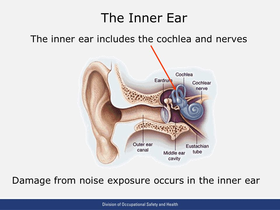 The Inner Ear The inner ear includes the cochlea and nerves
