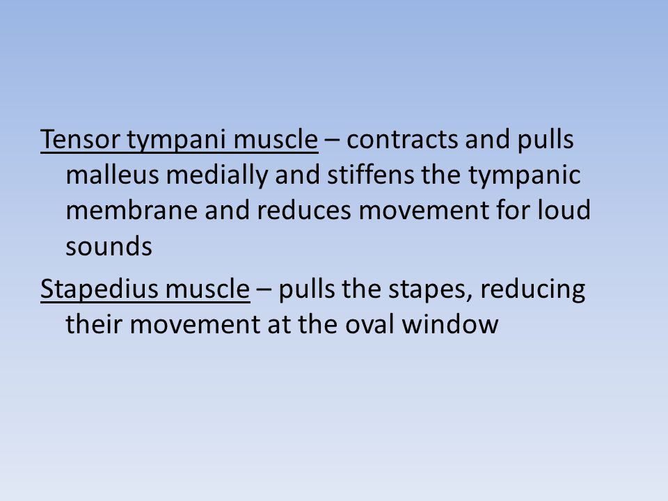 Tensor tympani muscle – contracts and pulls malleus medially and stiffens the tympanic membrane and reduces movement for loud sounds Stapedius muscle – pulls the stapes, reducing their movement at the oval window