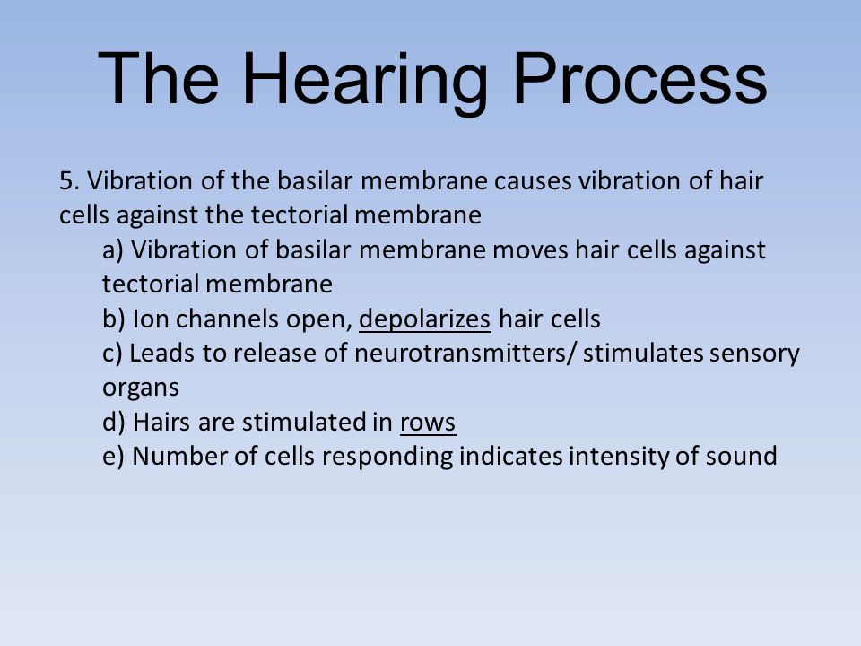 The Hearing Process 5. Vibration of the basilar membrane causes vibration of hair cells against the tectorial membrane.