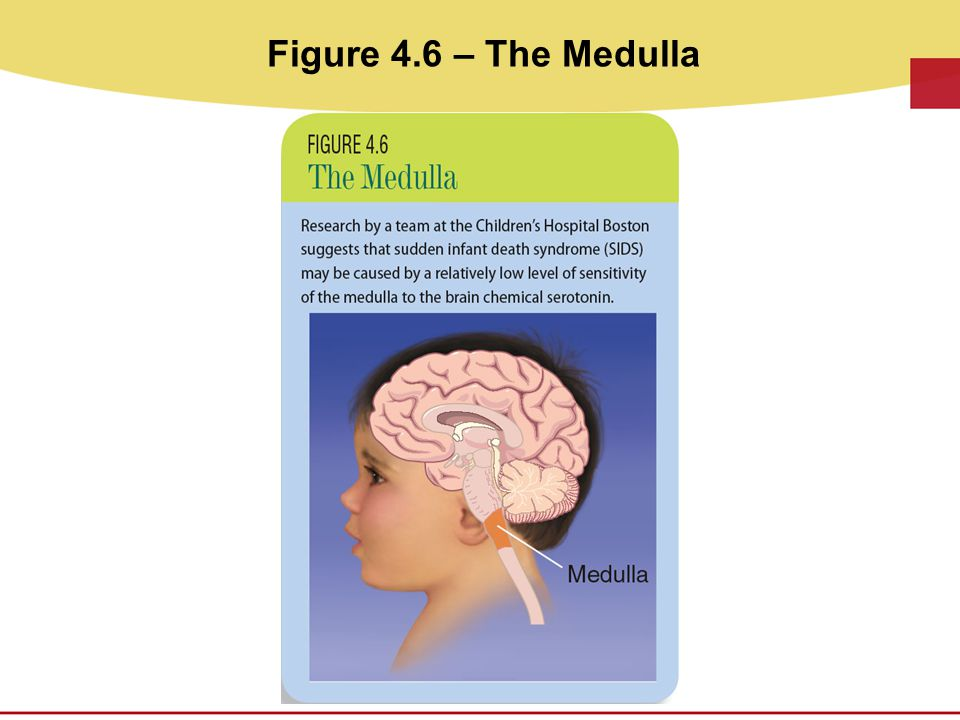 Figure 4.6 – The Medulla THE MEDULLA - This is Figure 4.6 on p. 76 of CDEV