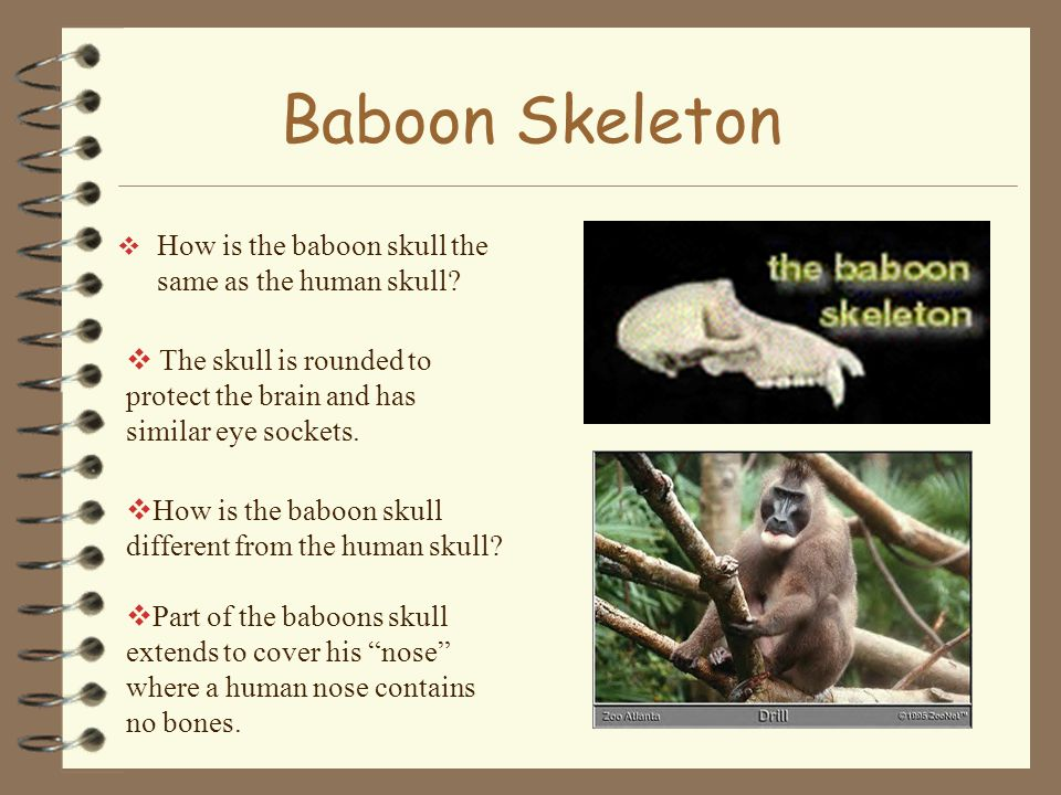 Baboon Skeleton How is the baboon skull the same as the human skull