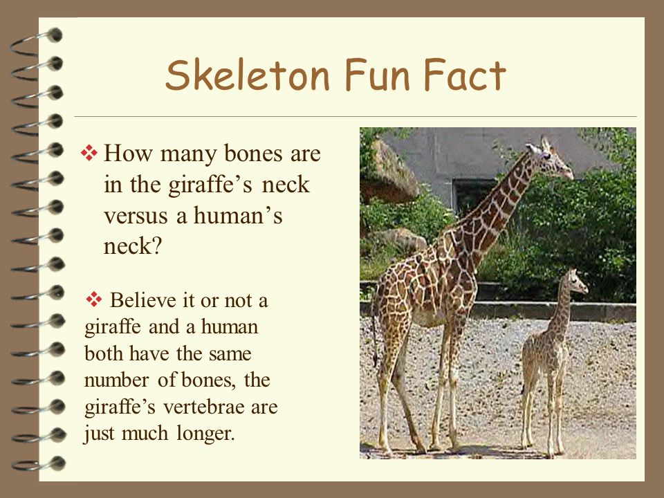 Skeleton Fun Fact How many bones are in the giraffe's neck versus a human's neck