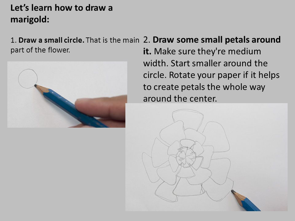 Let's learn how to draw a marigold: