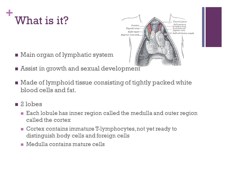 What is it Main organ of lymphatic system