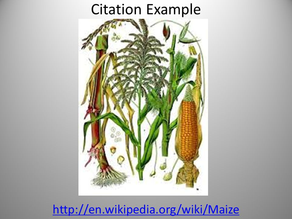 Citation Example http://en.wikipedia.org/wiki/Maize