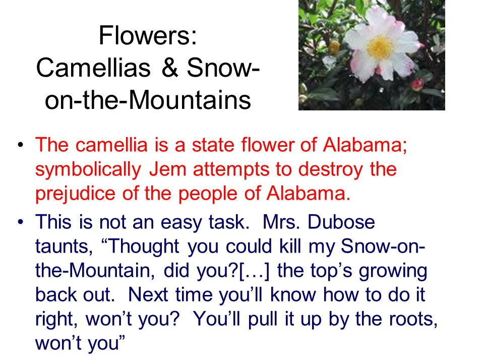 Flowers: Camellias & Snow-on-the-Mountains