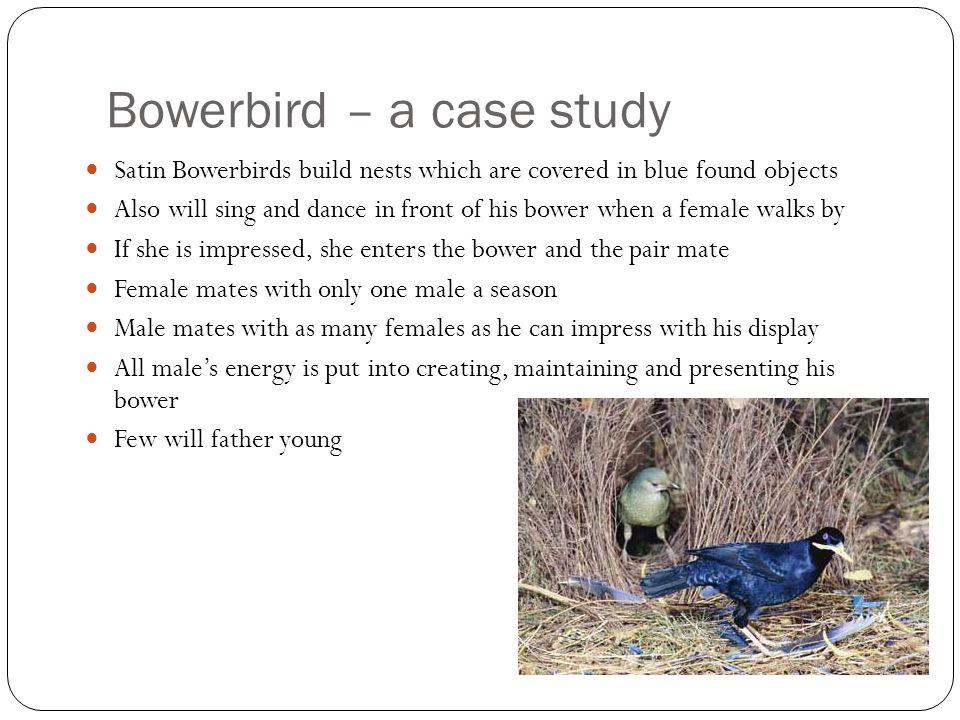 Bowerbird – a case study