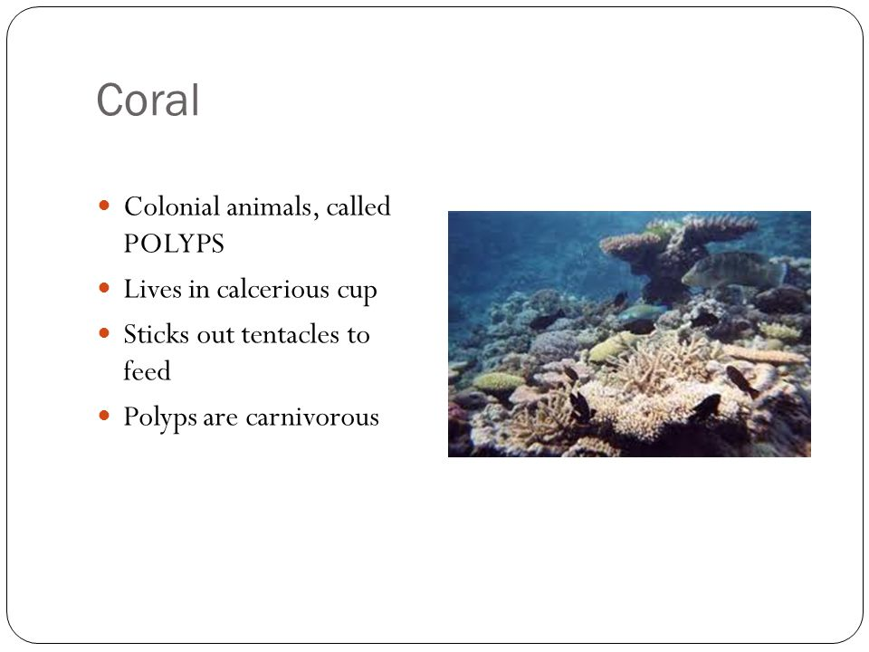 Coral Colonial animals, called POLYPS Lives in calcerious cup