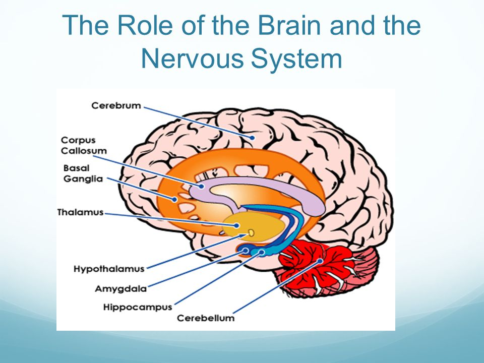 The Role of the Brain and the Nervous System