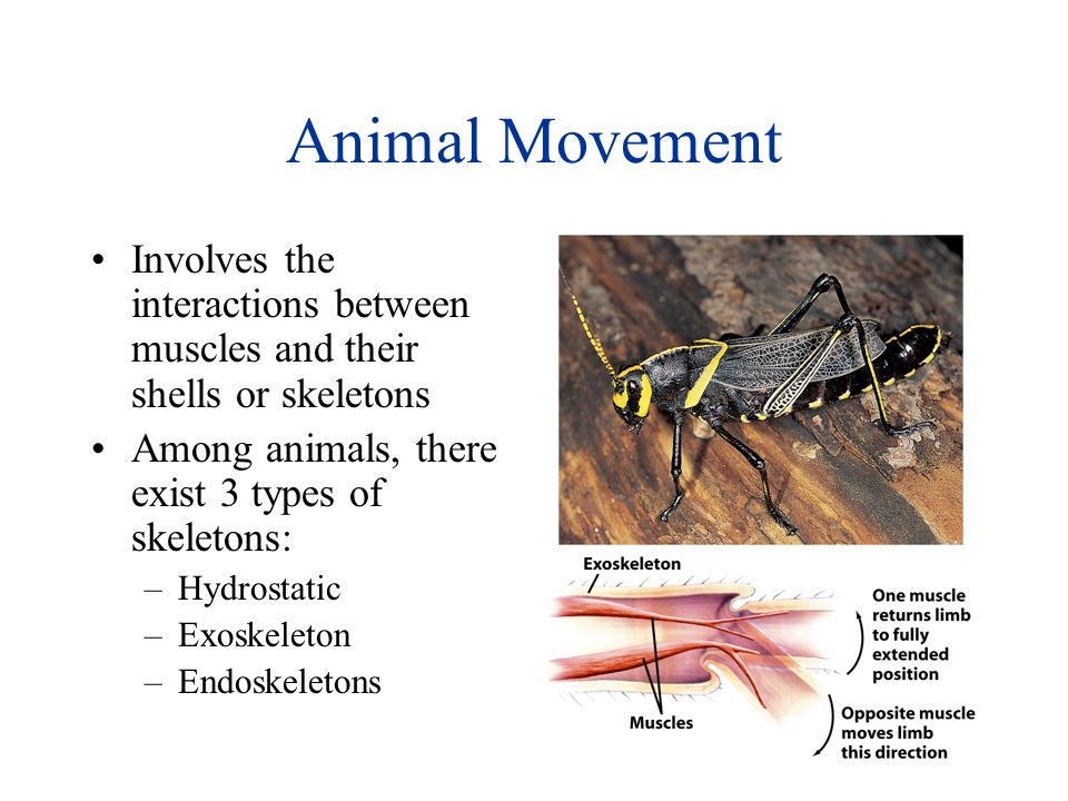 Animal Movement Involves the interactions between muscles and their shells or skeletons. Among animals, there exist 3 types of skeletons: