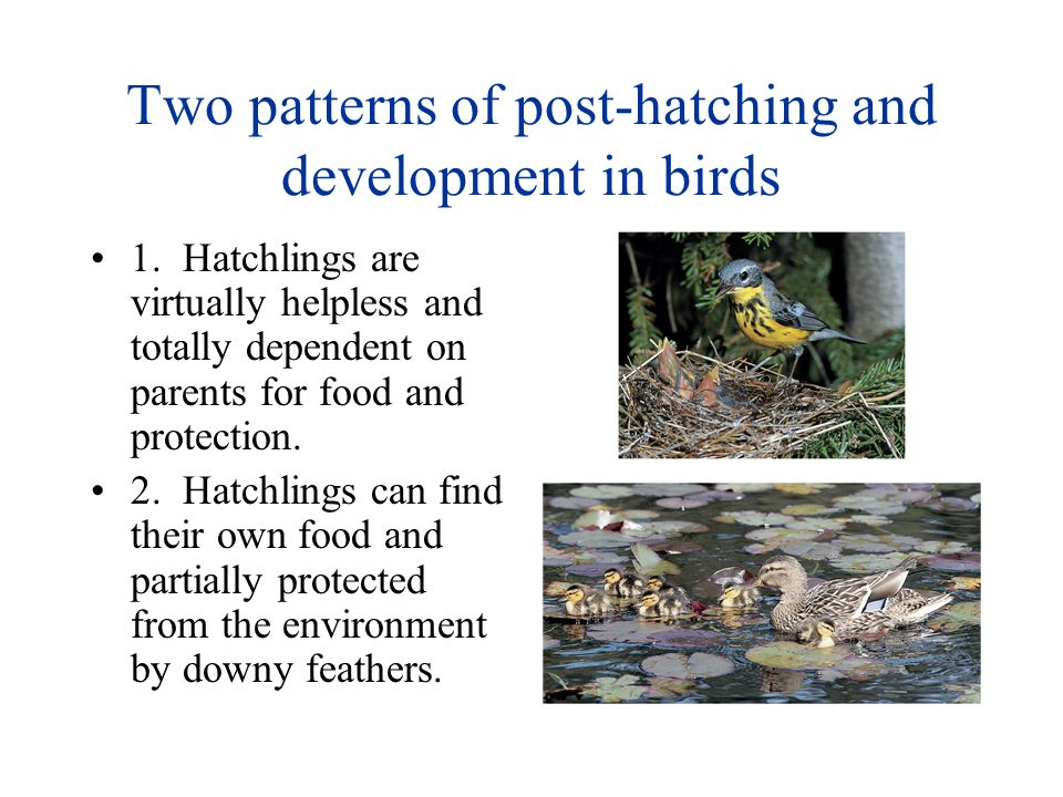 Two patterns of post-hatching and development in birds