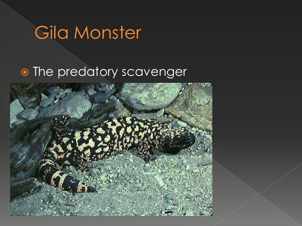 Gila Monster The predatory scavenger