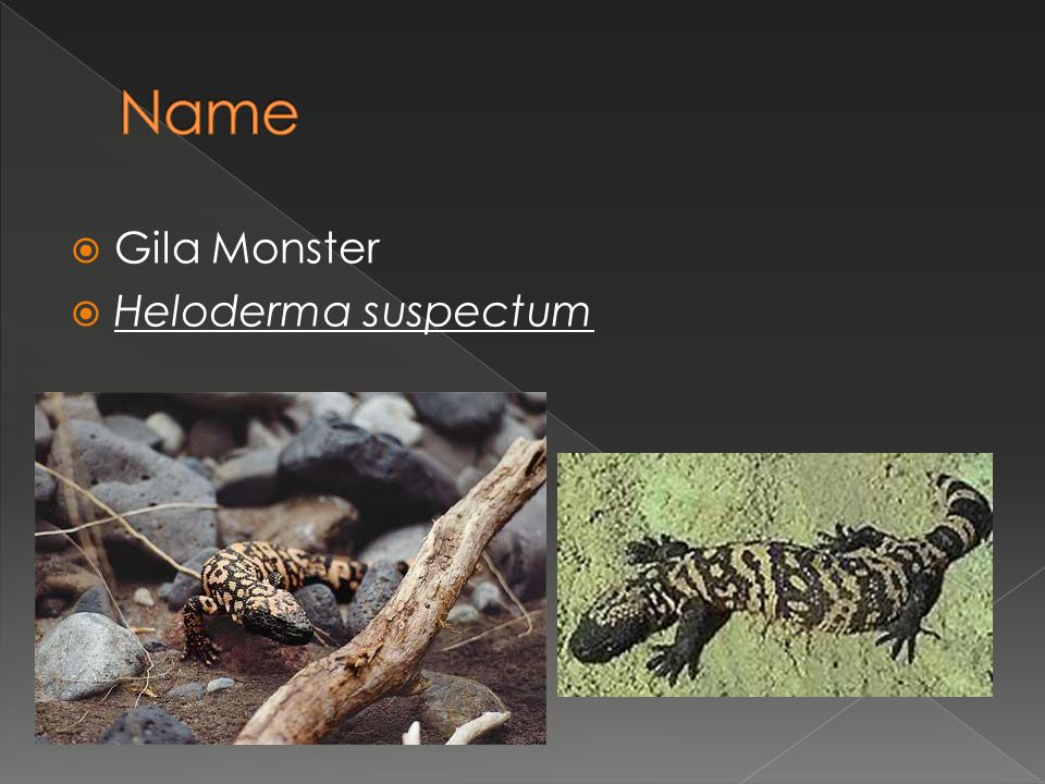 Name Gila Monster Heloderma suspectum