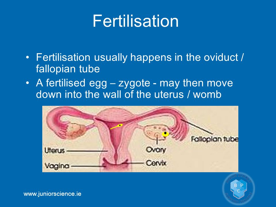 Fertilisation Fertilisation usually happens in the oviduct / fallopian tube.