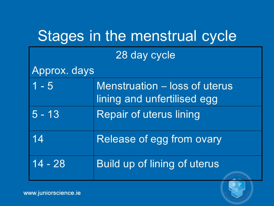 Stages in the menstrual cycle