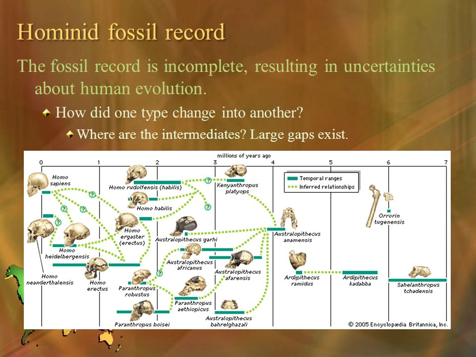 Hominid fossil record The fossil record is incomplete, resulting in uncertainties about human evolution.