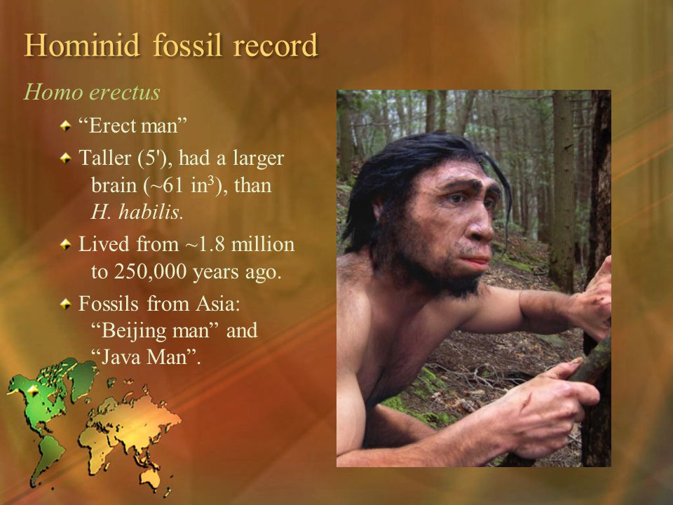 Hominid fossil record Homo erectus Erect man