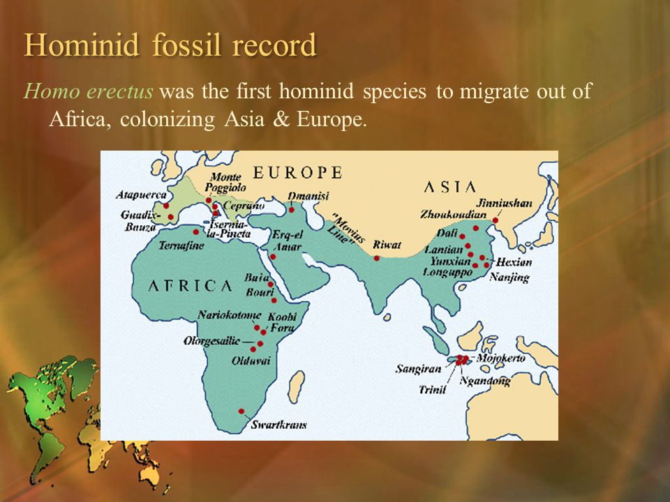Hominid fossil record Homo erectus was the first hominid species to migrate out of Africa, colonizing Asia & Europe.