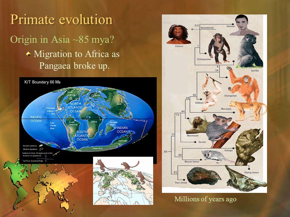 Primate evolution Origin in Asia ~85 mya