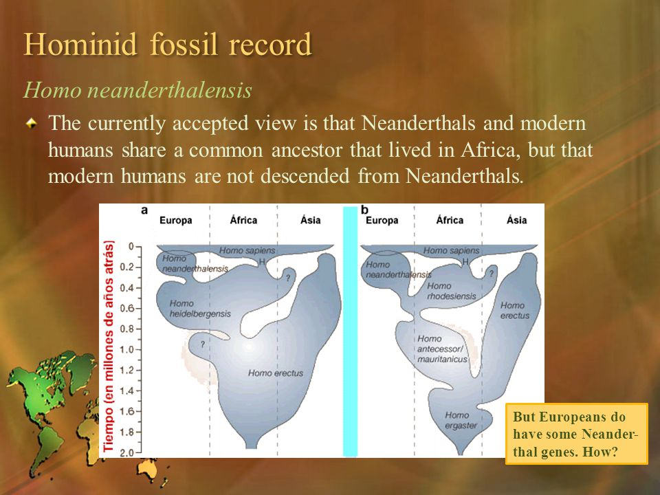 Hominid fossil record Homo neanderthalensis