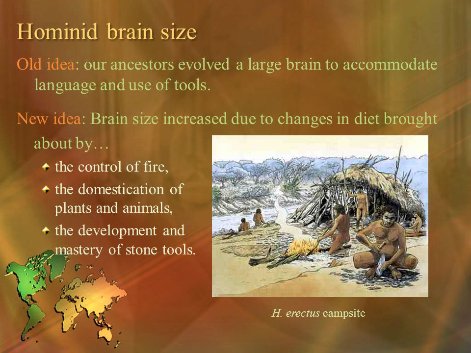 Hominid brain size Old idea: our ancestors evolved a large brain to accommodate language and use of tools.