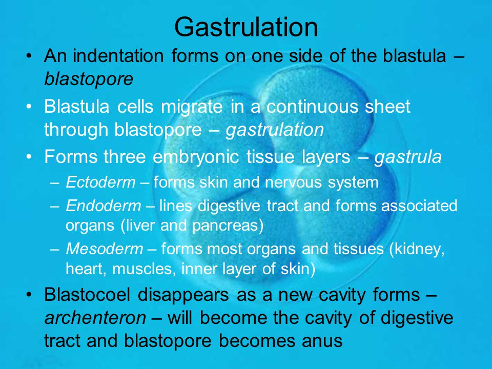Gastrulation An indentation forms on one side of the blastula – blastopore.
