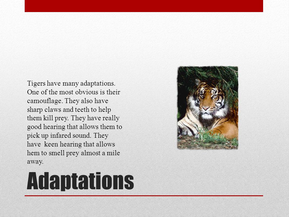Tigers have many adaptations