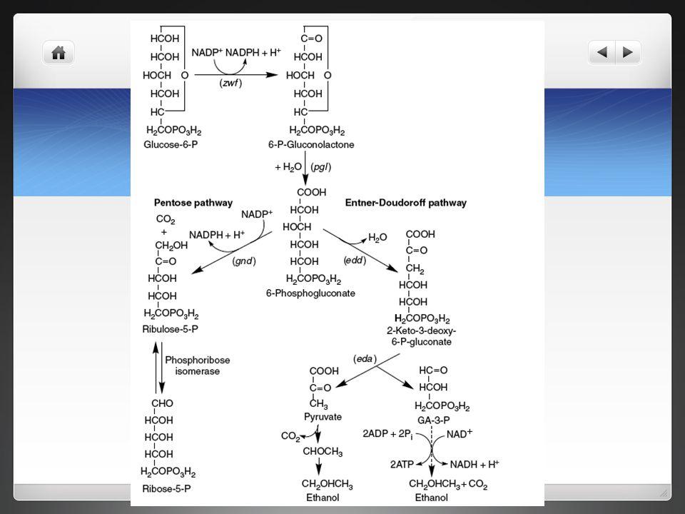 Divergent pathways from 6-phosphogluconate