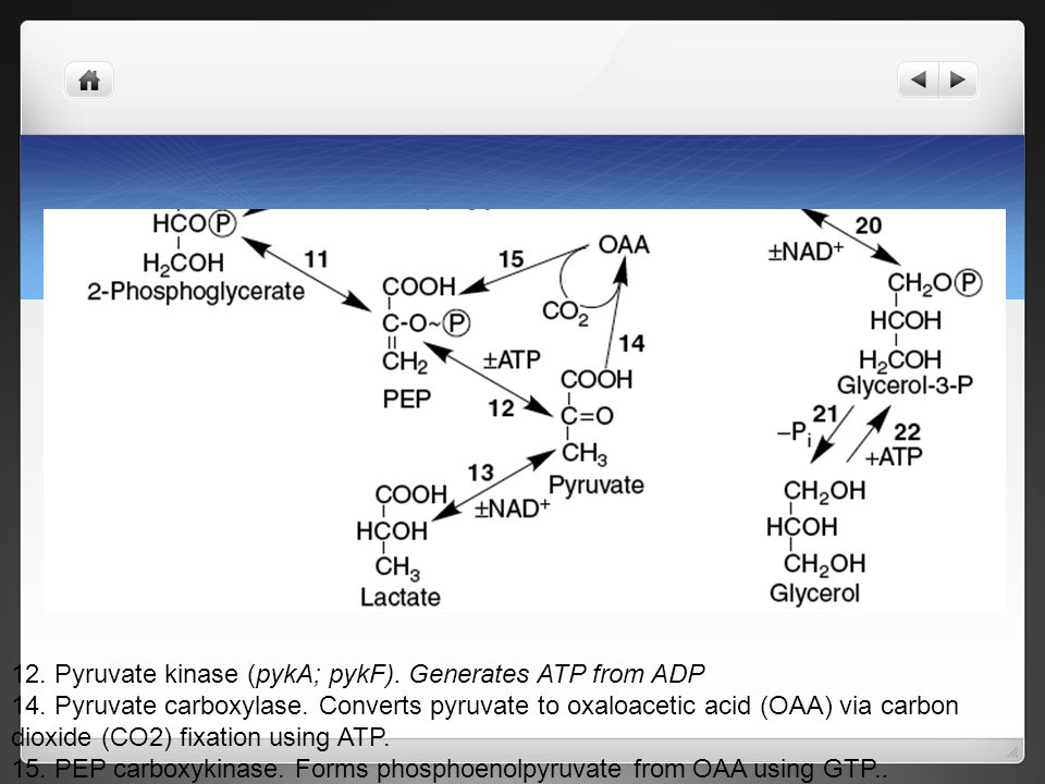 Pyruvate kinase is not reversible