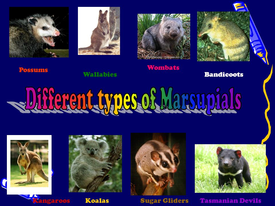 Different types of Marsupials
