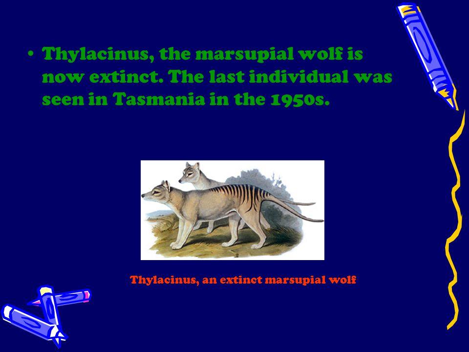 Thylacinus, the marsupial wolf is now extinct