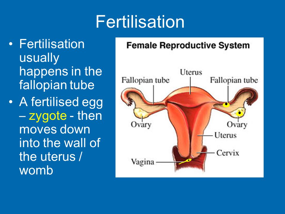 Fertilisation Fertilisation usually happens in the fallopian tube