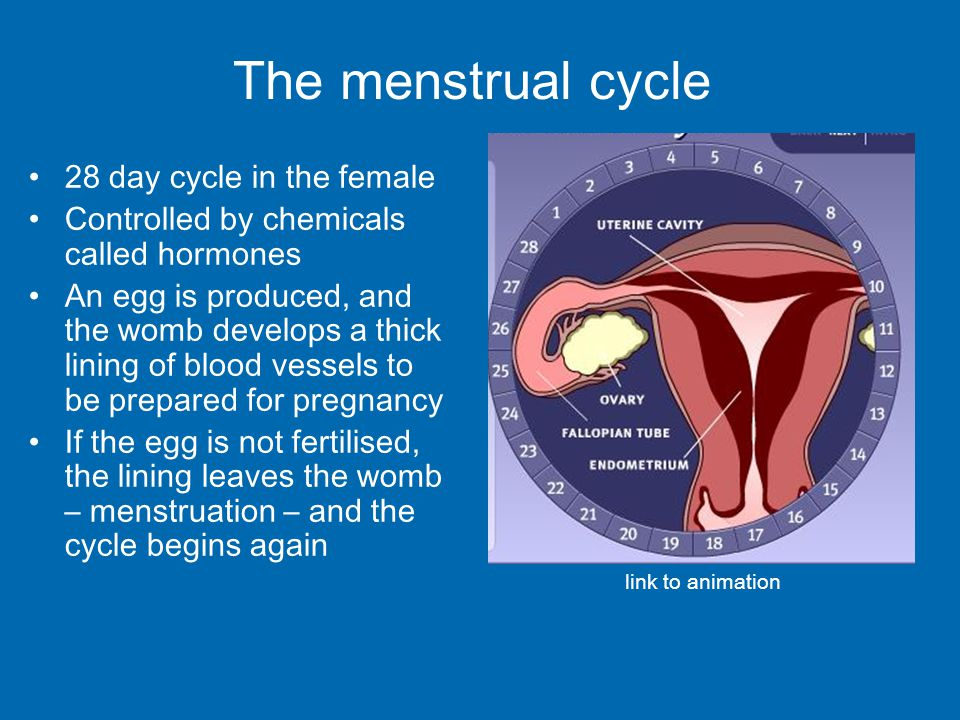 The menstrual cycle 28 day cycle in the female