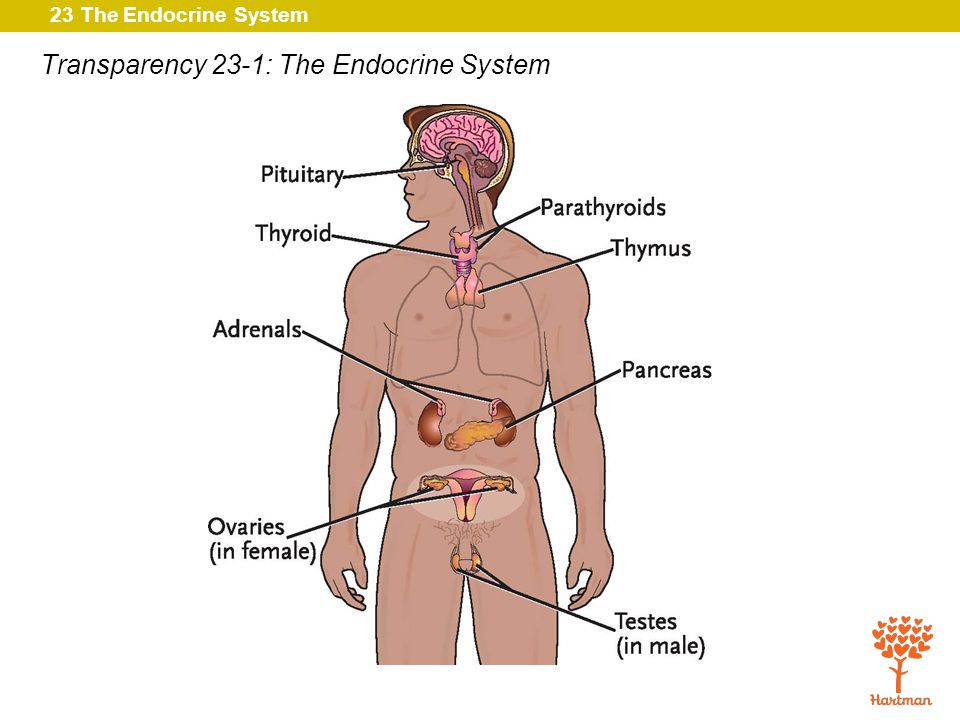 Transparency 23-1: The Endocrine System
