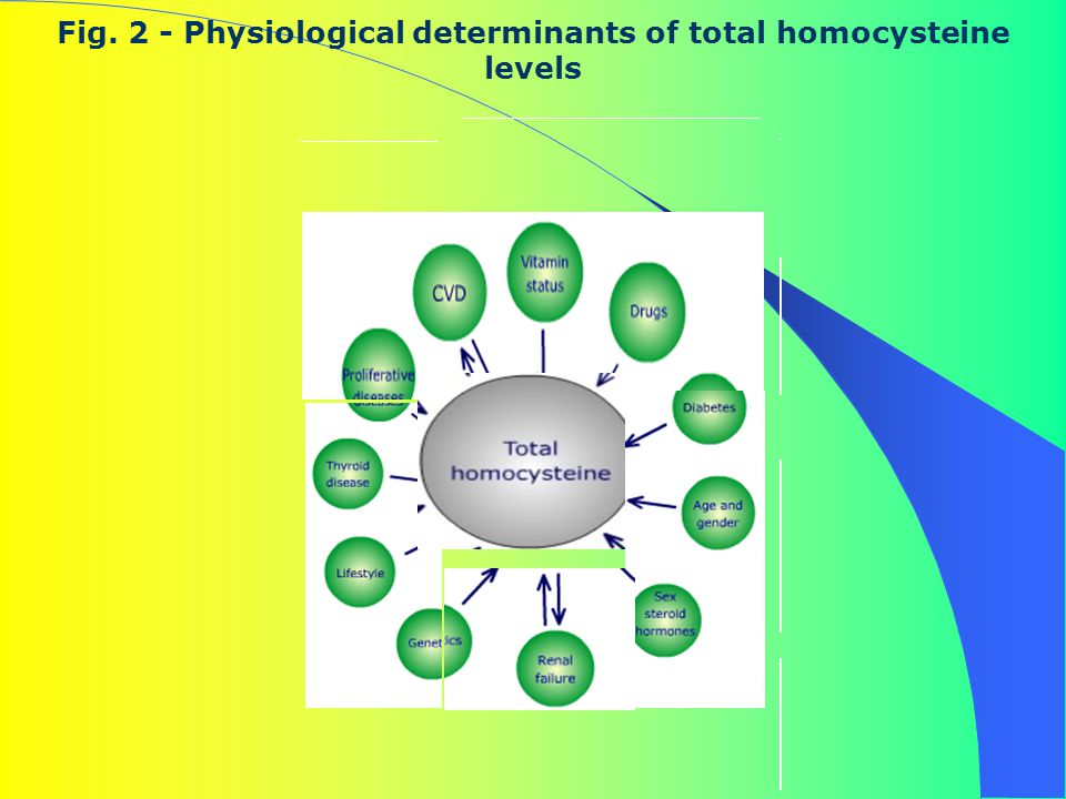 Fig. 2 - Physiological determinants of total homocysteine levels