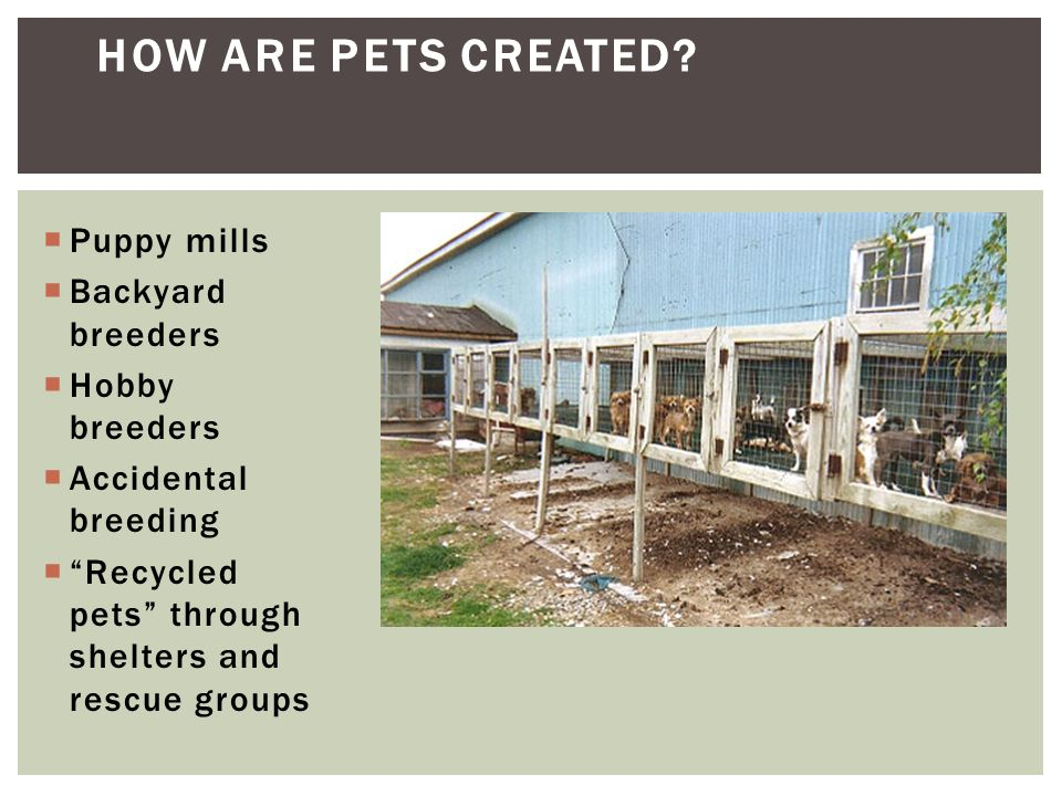 How are pets created Puppy mills Backyard breeders Hobby breeders
