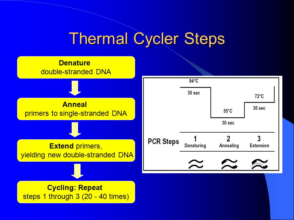 Thermal Cycler Steps Denature double-stranded DNA Anneal
