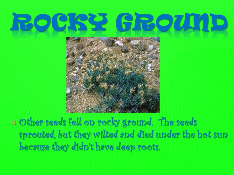 Rocky Ground Other seeds fell on rocky ground.