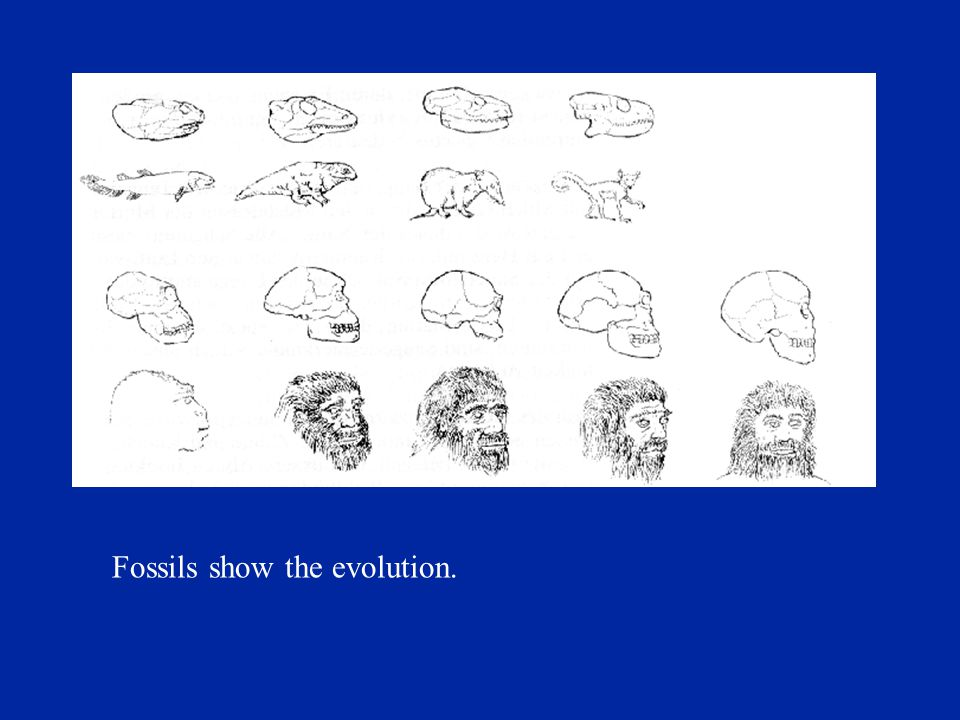 Fossils show the evolution.