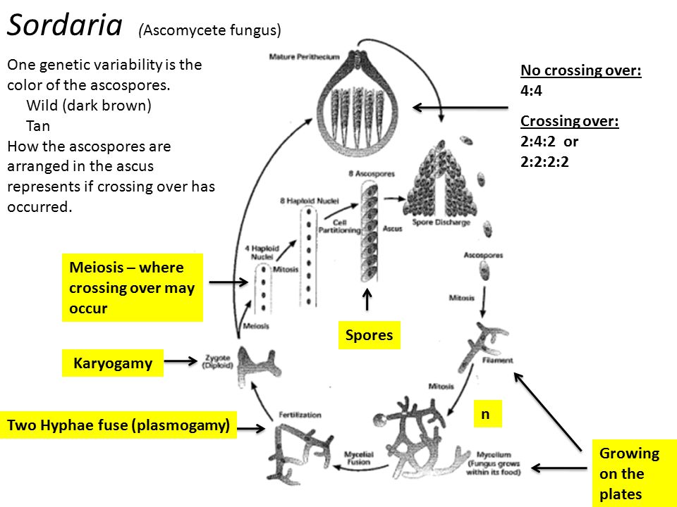 Sordaria (Ascomycete fungus)