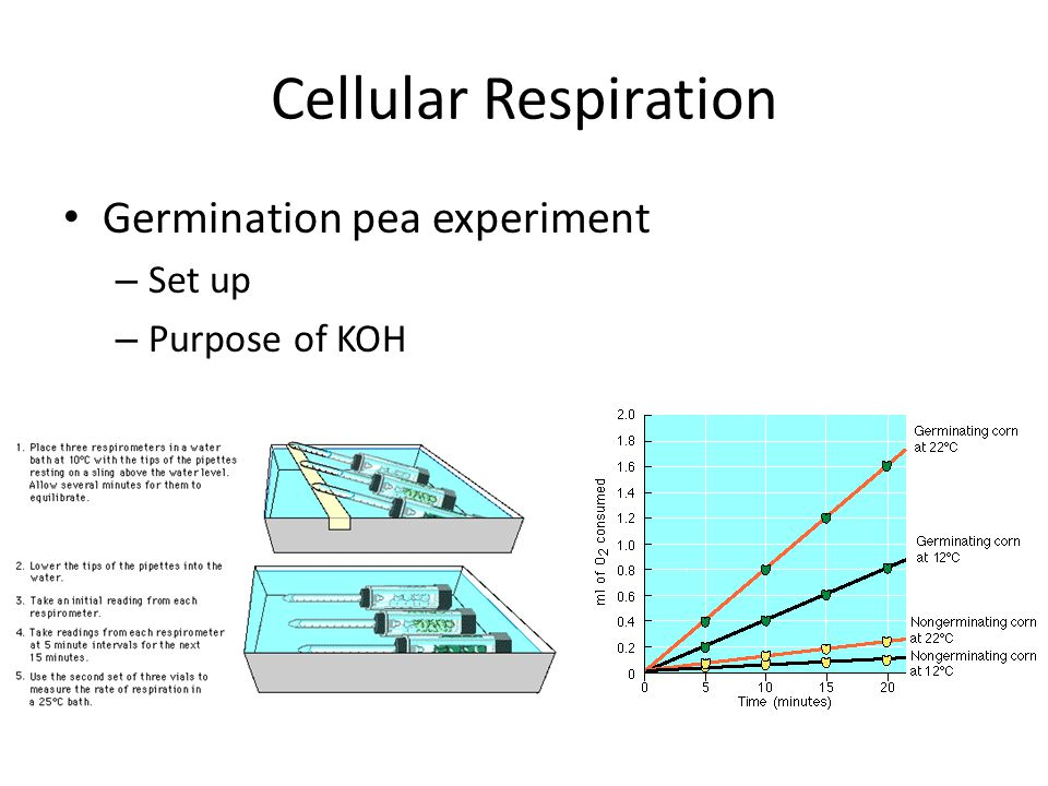 Cellular Respiration Germination pea experiment Set up Purpose of KOH